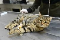 Yüksekten Düşen Kedisinin Tedavisi İçin Tokat'tan OMÜ'ye Geldi
