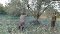 Zeytin Hasadında Erkek Sırıkçı Bulunamayınca Kadınlar Sırık İşine El Attı