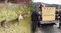 Köpeklerin Saldırdığı Gebe Karaca Kurtarıldı