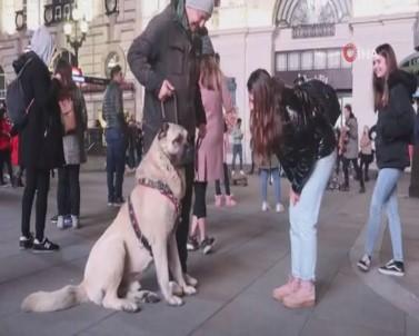 Türkiye'den Getirilen Çoban Köpeği Londra'da Büyük İlgi Gördü