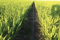 Samsun'da 30 Ton Soya Ve 126 Ton Çeltik Tohumu Üreticilere Dağıtıldı