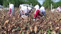 Çukurova'da Yetiştirilen Renkli 'Gelincik' Pamuğunun Hasadı Yapıldı