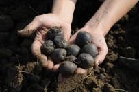 Türkiye'nin Tek Kadın Mor Patates Üreticilerinin Hasat Sevinci