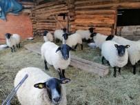 Artvin'e Özgü Bijik Koyununun Yok Olmaması İçin Harekete Geçtiler