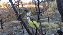 Amasya'da Kiraz Ağaçları Mevsimi Şaşırdı
