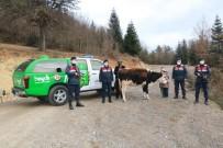 Kayadan Düşerek Yaralanan Büyükbaş Hayvanı, Jandarma Kurtardı