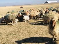 Kuzuların Koyunlarla Buluşması Renkli Görüntüler Oluşturdu
