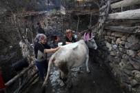 Kara Kazanda Sular Bu Kez 'İnekler' İçin Isıtıldı