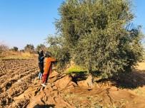 (Özel) Kısıtlamadan Muaf Olan Tarım İşçileri Sınırda Zeytin Topladı