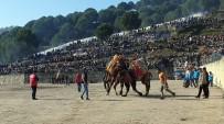 GÜREŞ - Yenipazar'da 36. Deve Güreşi Festivali Renkli Görüntülere Sahne Oldu