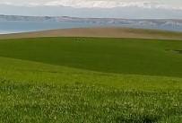 Tarlada Görülen Domuzlar Havyan Sahiplerini Korkutuyor
