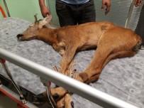 PORSUK - Ordu'da Tedavi Edilen Yaralı Hayvan Sayısı Artıyor