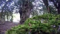 PORSUK - Tesadüfen Bulunan 2 Bin 500 Yıllık Ağaç Asırlara Meydana Okuyor