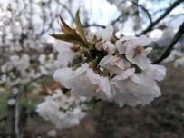 ORGANIK TARıM - Kuşadası Kirazlı'nın Kiraz Çiçekleri Açtı