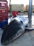 MORITANYA - Ordulu Balıkçıların Ağına Yarım Tonluk Köpek Balığı Takıldı