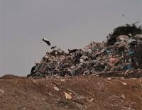Leylekler Yiyecek İçin Çöplükte Mola Verdi