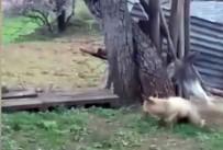 Tilki Kedinin Saldırısıyla Neye Uğradığını Şaşırdı