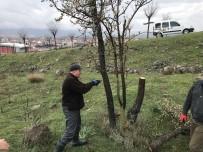 Avcılar Yabani Ağaçları Aşıladı