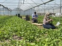 Korona Sürecinde Sarıcakaya'da Sebze İhracatı Devam Ediyor