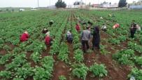 ÇEKIM - Drone Gören Tarım İşçileri Şaşkına Döndü