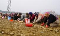 SEL BASKINLARI - (ÖZEL) Kastamonu'da 22 Bin Dönüm Alana Sarımsak Ekildi