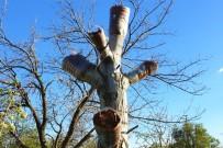 Kaliteli Ürün İçin Ağaçlar Aşılanıyor