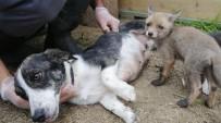 (Özel) Sahipsiz Kalan Çakal Ve Tilki Yavrularına Köpek Sahip Çıktı