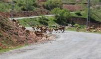 Tunceli'de Dağ Keçileri Sürü Halinde Karayoluna İndi