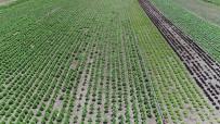 Konya Çiftçisinin Marul Üretim Hedefi Yükseliyor