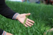 'Artvin Buğdayı' Coğrafi İşaret Yolunda