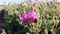 'Güller Diyarında' Hasatta, 'Kovid-19' Sessizliği