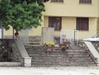 Yaban Keçileri,Bu Kez Kurumların Bahçesine Kadar Geldi