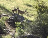 Tunceli'de Yaban Keçileri, Yavruları İle  Görüntülendi