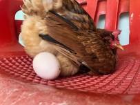 Rahatına Düşkün Tavuk Sandalyeden Başka Yerde Yumurtlamıyor