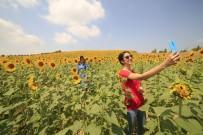 Ayçiçekleri Açtı, Fotoğraf Tutkunları Tarlalara Koştu
