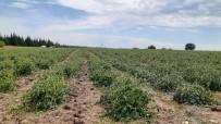 Biga'da Şiddetli Dolu Tarım Arazilerini Vurdu