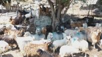 İmroz Koyunun Coğrafi İşaret İşlemlerinde Sona Gelindi