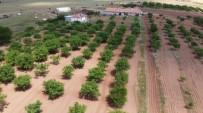 Ceviz'de Bu Yıl Üretici Yüksek Rekolte Bekliyor