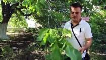 Tescilli Ağacın Cevizi Dalında Satılıyor