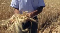Nadasa Bırakılan Bozkır Arazilerinde Kaba Yem Üretiliyor