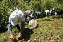Mevsimlik Fındık İşçilerinin Çalışma Koşulları Belli Oldu