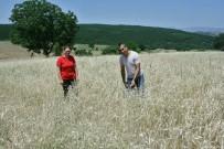 (Özel) Bu Buğday Radyasyona Dayanıklı