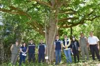 (Özel) Kastamonu'daki 500 Yıllık Fındık Ağaçları Gen Koruma Ormanı İlan Edildi