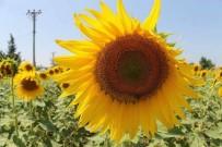 Manyas Ovası Sarıya Boyandı
