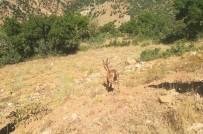 Görme Kaybı Yaşayan Dağ Keçisi İyileşti, Doğal Ortamına Bırakıldı