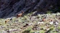 Kayseri'de Koruma Altındaki Yaban Keçileri Görüntülendi