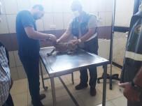 Hasta Yavru Yaban Keçisi Koruma Altına Alındı