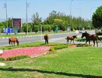 ORGANİZE SANAYİ BÖLGESİ - Yılkı atları şehre indi!