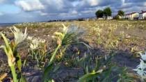 Nesli Tükenmekte Olan Kum Zambağı Kocaali Sahillerini Süslüyor
