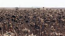 Dünyanın En Büyük Tarım İşletmesinde Ayçiçeği Hasadı Başladı